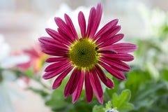 Krysantemumindicummumen blommar i blom Fotografering för Bildbyråer