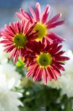 Krysantemumindicummumen blommar i blom Arkivfoto