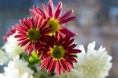 Krysantemumindicummumen blommar i blom Royaltyfria Bilder