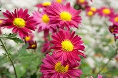 Krysantemumindicummumen blommar i blom Arkivbilder