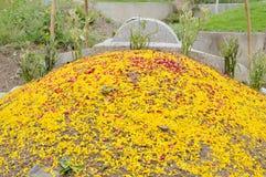 Krysantemumkronblad som fördelar för erbjudande ancester på kinesisk kyrkogård i den Quingming festivalen Royaltyfri Foto