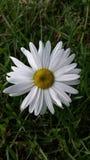 Krysantemumleucanthemum Arkivfoton