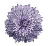 Krysantemumljus - violet Blomma på isolerad vit bakgrund med den snabba banan utan skuggor Närbild För design royaltyfri bild