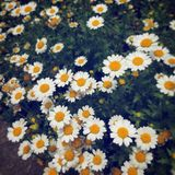 Krysantemumpaludosum Royaltyfria Bilder