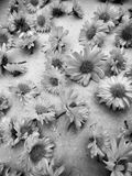 Krysantemumte royaltyfria foton