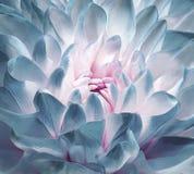 Krysantemumturkos-rosa färg-vit blomning Bakgrund av en krysantemumblommanärbild Makro royaltyfria foton