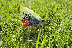 kryssa för gräshoppa för 02 flyg Royaltyfri Foto
