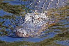 Kryssa omkring för amerikansk alligator Royaltyfri Bild