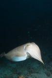 kryssningbläckfisk arkivfoto