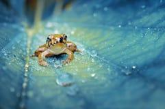 Krystaliczna żaba Obrazy Royalty Free