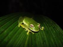 Krystaliczna żaba Fotografia Stock