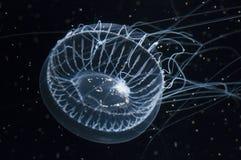 krystaliczni jellyfish zdjęcia stock