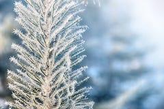 Kryształy mróz na sośnie Pięknej zimy sezonowy naturalny tło Styczeń 33c krajobrazu Rosji zima ural temperatury oddział mrożona obraz royalty free