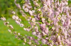 Krzaków drzew kwiecenia różowa gałąź Zdjęcie Royalty Free