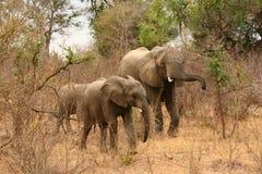 krzaków słonie Obrazy Royalty Free