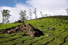 krzaków zielonego wzgórza herbata Obraz Royalty Free