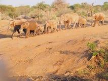 krzak afrykański słoń Fotografia Stock