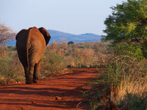 krzak afrykański słoń Obrazy Stock