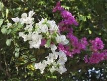 Krzak bielu i menchii oleandrowi kwiaty Obrazy Royalty Free