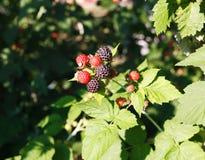 Krzak czarne malinki w ogródzie Fotografia Royalty Free