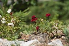 Krzak czerwone róże zdjęcia royalty free