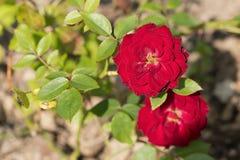 Krzak czerwone róże obrazy stock
