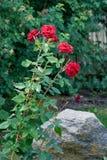 Krzak czerwone róże w ogródzie blisko dekoracyjnego wielkiego stone_ Obrazy Royalty Free
