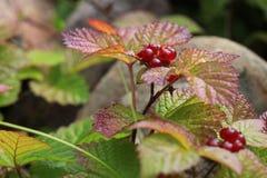 Krzak kamiennego bramble jagody Rubus saxatilis fotografia royalty free