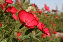 krzak kwitnie czerwień zdjęcie stock