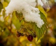Krzak malinka z ostatnimi jagodami i pierwszy śniegiem Fotografia Royalty Free