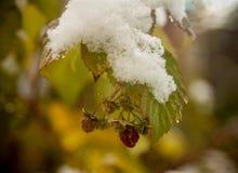 Krzak malinka z ostatnimi jagodami i pierwszy śniegiem Obrazy Royalty Free