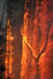 krzak ogień Zdjęcia Stock