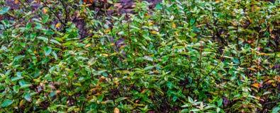 Krzak photinia fraseri po deszczu, mokra zieleń opuszcza w makro- zbliżeniu, popularne ogrodowe rośliny obraz royalty free