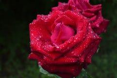 Krzak różana czerwień Fotografia Royalty Free