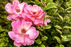 Krzak różowe róże w ogródzie obrazy royalty free