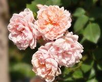 Krzak róże w ranku Zdjęcie Stock