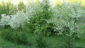 Krzak trawy i bielu okwitnięcia jabłoni ogród Panning dobrze zbiory wideo