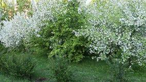 Krzak trawy i bielu okwitnięcia jabłoni ogród Panning Z lewej strony zbiory