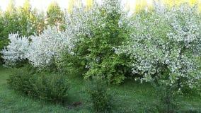 Krzak trawy i bielu okwitnięcia jabłoni ogród Panning z lewej strony z zoomem out zbiory wideo