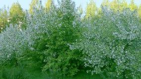 Krzak trawy i bielu okwitnięcia jabłoni ogród Panning z lewej strony z zoomem out zdjęcie wideo