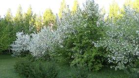 Krzak trawy i bielu okwitnięcia jabłoni ogród Tripod wciąż dolly zdjęcie wideo