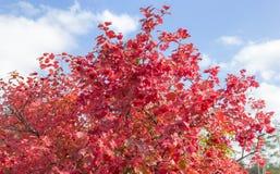 Krzak viburnum z jesieni jagodami i liśćmi Zdjęcia Stock