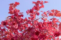 Krzak viburnum z jesieni jagodami i liśćmi Zdjęcie Stock