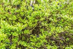 Krzak z czarnymi jagodami Obraz Stock