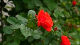Krzak z czerwieni różą zdjęcie wideo