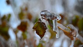 Krzak z liśćmi zakrywającymi z lodem po deszczu w zimie zbiory