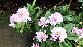 Krzak z rododendronowymi kwiatami Kolor korekcja zbiory wideo