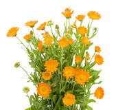 krzaka calendula kwiaty Zdjęcia Stock