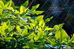 krzaka deszcz Obraz Stock