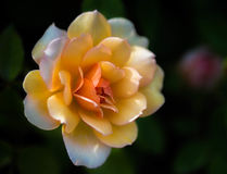 Krzaka ` graci Różany ` Obrazy Royalty Free